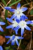 SCILLA FORBESII - Chionodoxa luciliae Royalty Free Stock Image