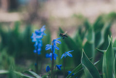 Scilla. Is a genus of about 50 to 80 bulb-forming perennial herbs in the family Asparagaceae, subfamily Scilloideae, native to woodlands, subalpine meadows, and Royalty Free Stock Photography