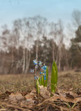 Scilla growing in the forest Royalty Free Stock Photo