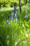 Scilla hispanica bell shaped bulbous late spring flower in bloom. Springtime, grassland in sunlight, group of flowers on stem, green leaves and grass, lawn royalty free stock photo