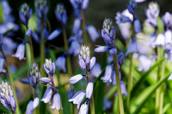 Scilla hispanica Mill Royalty Free Stock Image