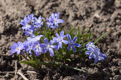 Scilla luciliae Stock Photography