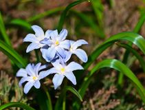 Scilla luciliae is cultivated as an ornamental flowering plant. Flowers are light blue, veins of petals are bluish-violet, white stamens, yellow pollen, in Stock Photography
