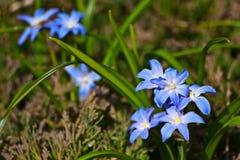 Scilla-luciliae wird als dekorative blühende Pflanze kultiviert Stockfoto