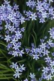 Scilla ramburei flowers Stock Photos