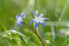 Scilla (Scilla amoena) in spring Royalty Free Stock Images