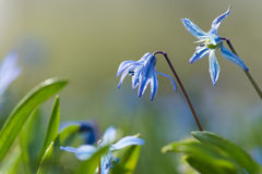 Scilla (Scilla siberica) in spring Royalty Free Stock Photography