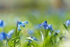 Scilla (Scilla siberica) in spring Stock Photos