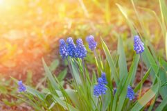 Scilla Siberian bleue Tôt la floraison satisfait l'oeil humain Forêt bleue de perce-neige au printemps que le premier ressort fle images libres de droits