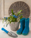 Scilla Siberian on a white basket Royalty Free Stock Images