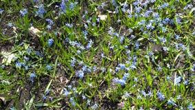 Scilla siberica或蓝色snowdrop在森林第一春天会开蓝色钟形花的草摇摆在风在一明亮的好日子 领域  影视素材