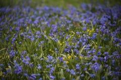 Scilla Siberica春天作为背景的4月草甸 库存照片