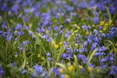 Scilla Siberica春天作为背景的4月草甸 免版税库存照片