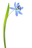 Scilla siberica Stock Photography