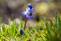 Scilla-siberica blaues kleines Frühjahr blüht im Gras, Abschluss herauf knollenförmige blühende Pflanze der Ansicht stockfoto
