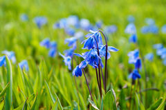 Scilla siberica or Siberian squill flowers Stock Images