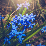 Scilla siberica (Siberian squill or wood squill) Royalty Free Stock Images