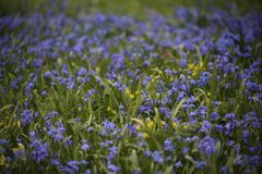 Scilla Siberica spring April meadow as background. Scilla Siberica Siberian Squill found on a spring meadow at Easter time, beautiful and vibrant with blue and Stock Photo