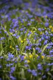 Scilla Siberica spring April meadow as background. Scilla Siberica Siberian Squill found on a spring meadow at Easter time, beautiful and vibrant with blue and Stock Images