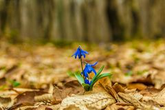 Scilla siberica spring beauty in forest. Spring is at door. Close up shot Stock Photos
