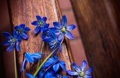 Scilla sibirica (blue snowdrops) Royalty Free Stock Image