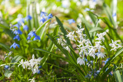 Scilla sibirica. Blue and white spring flowers Royalty Free Stock Image