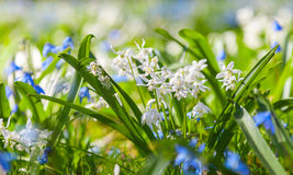 Scilla sibirica, blue and white spring flowers Royalty Free Stock Photos