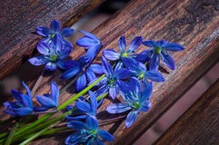Scilla sibirica (snowdrops) Royalty Free Stock Photo