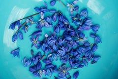 Scilla, squill πρόωρο λουλούδι άνοιξη στο πιάτο aqua Στοκ Εικόνες