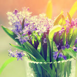 Scilla Squill flowers Stock Photography