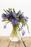 Scilla in vase Stock Images