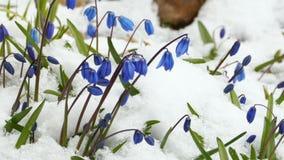 Scilla in witte sneeuw stock footage