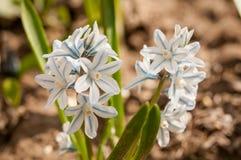 Scilloides di Puschkinia - vista di crescita di fiori di fioritura della molla in un giardino Immagini Stock