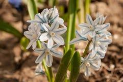 Scilloides di Puschkinia - vista di crescita di fiori di fioritura della molla in un giardino Fotografia Stock