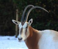 Scimitar-κερασφόρο κεφάλι Oryx Στοκ Φωτογραφίες