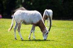 Scimitar-κερασφόρο Oryx, που ονομάζεται για τα θαυμάσια scimitar-διαμορφωμένα κέρατά του που μετρούν μέχρι ένα μέτρο στο μήκος στοκ φωτογραφίες με δικαίωμα ελεύθερης χρήσης
