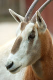 Scimitar κερασφόρο Oryx Στοκ Εικόνες