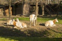Scimitar-κερασφόρο Oryx (Oryx dammah) Στοκ Φωτογραφίες