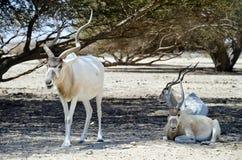 Scimitar addax antelope in Israeli savanna Stock Photos