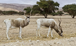 The scimitar horned addax (Addax nasomaculatus) Royalty Free Stock Image