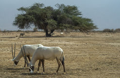 Antelope addax in Israeli nature reserve Royalty Free Stock Photo