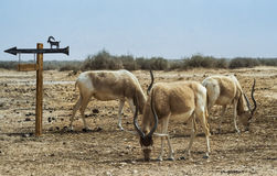 Herd of antelope addax Royalty Free Stock Images