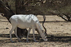The scimitar horned addax Stock Photo
