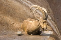 Scimitar horned Ibex Royalty Free Stock Photography