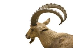 Scimitar horned IBex on white background. Scimitar horned Ibex isolated on white background Stock Image