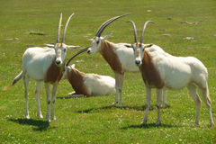 Scimitar-horned oryx Stock Photos