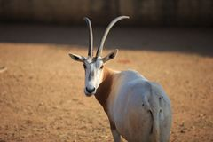 Scimitar horned Oryx. A scimitard horned oryx at the zoo royalty free stock photo