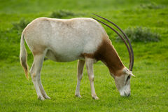 Scimitar-Horned Oryx Royalty Free Stock Images