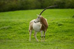 Scimitar-Horned Oryx Stock Image