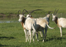 Scimitar Horned Oryx. Oryx dammah. Extinct in the wild, a Scimitar Horned Oryx makes its home on an exotic game ranch in North Texas, USA. Also named the desert stock image